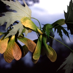 0-038_Acer_sacch_OR4_SX