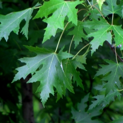 0-038Acer_sacch_OR3_SX
