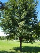 #01-07-Q_petraea (rosacea)-W Nurs-N tree-1_GP
