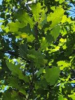 #01-07-Q_petraea (rosacea)-W Nurs-N tree-2_GP