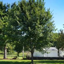 #01-07-Q_petraea (rosacea)-W Nurs-N tree-3_GP