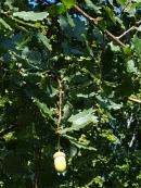 #01-07-Q_petraea (rosacea)-W Nurs-N tree-4_GP