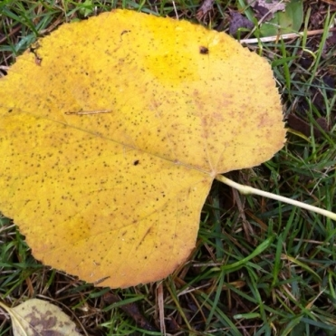 Cottonwood leaf in the fall.