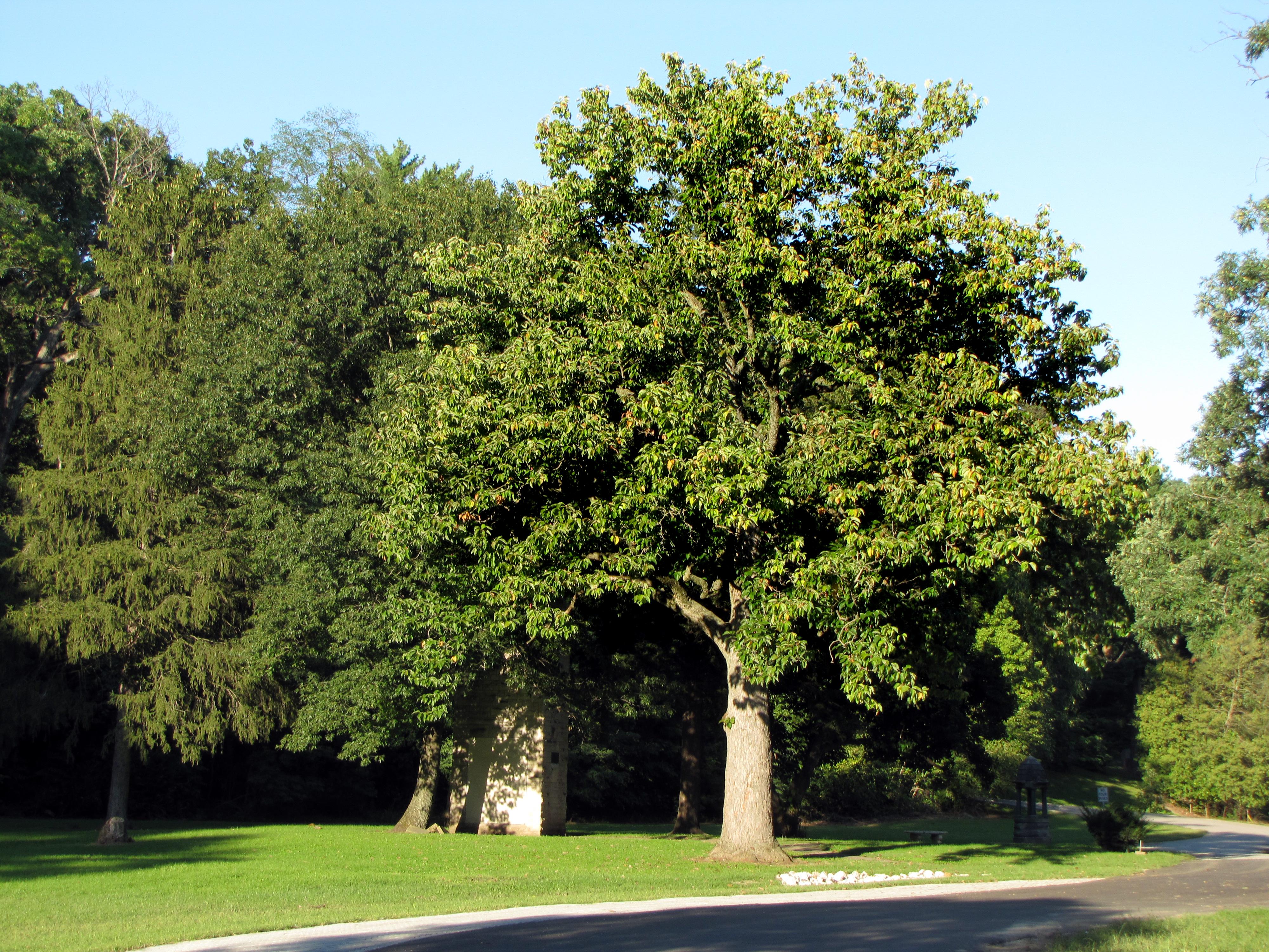 Cucumber Magnolia Historic Trees
