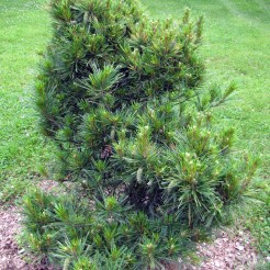 0-005-Pinus_strobus-Phoenix-2_SHF_SX_zps82615232