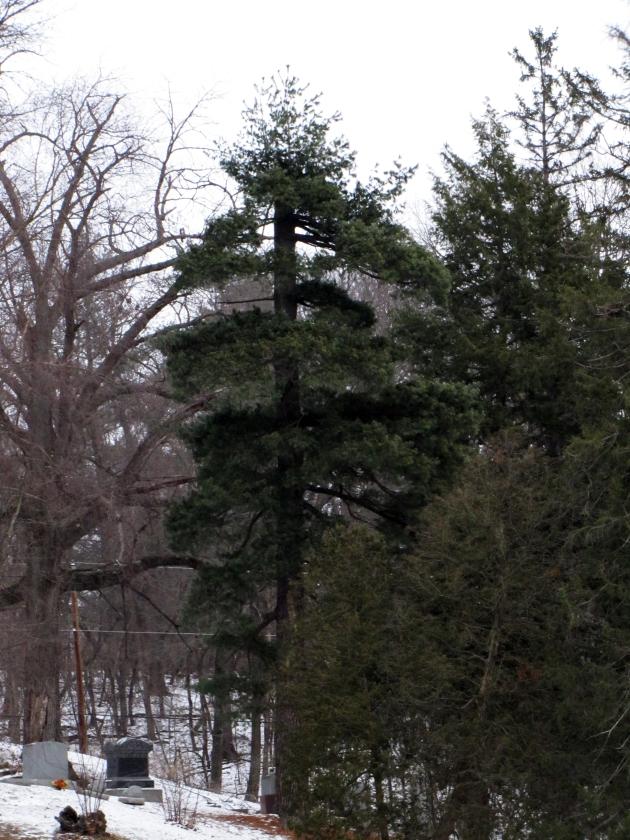 0-005-Pinus_strobus-Phoenix-Ortet2_SX_zps6f67ceab