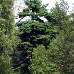 0-005-Pinus_strobus-Phoenix-Ortet_SX_zps5b871080