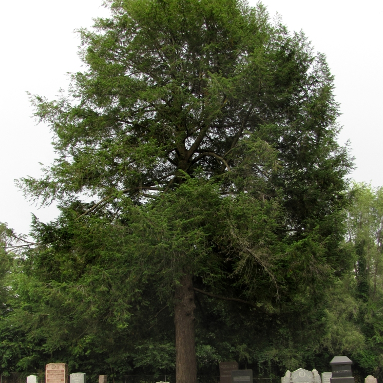 0-013-Tsuga_canadensis-tree_SX_zps2d2c84e3