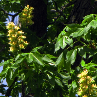 0-014-Aesculus_glabra-flowers_SX_zpsed4b619a