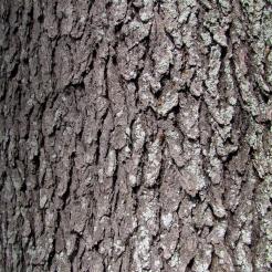 0-015_Prunus_serotina-Bark_SX_zpsfae334e6