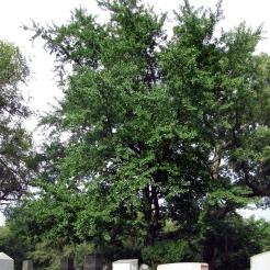 0-016-Ginkgo_biloba-tree_SX_zps2dbe9309
