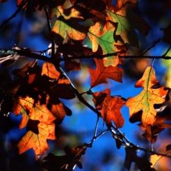 0-017-Quercus_stellata-FallColors_SX_zps6c0d0cba