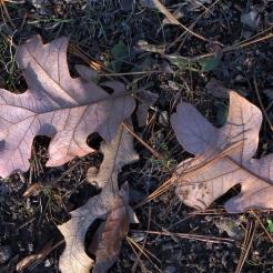 0-017-Quercus_stellata-FallenLeaves_SX_zps500b923d