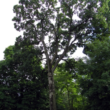 0-017-Quercus_stellata-tree_SX_zps958d9a1d
