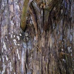 0-018-Juniperus_virginiana-Bark_SX_zps9f3544e4