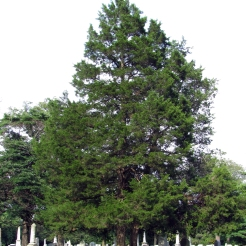 0-018-Juniperus_virginiana-Tree_SX_zps3901abfc
