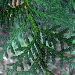 0-020-Thuja_occidentalis-Foliage_SX_zps3d325ee7