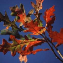 94-02-Quercus_lyrata-FallFoliage_SX_zps8d9a4f10