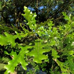 94-02-Quercus_lyrata-foliage_SX_zps0f84fcd0