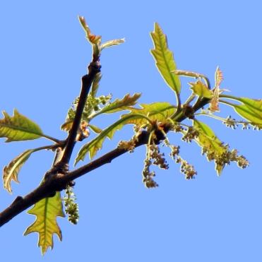 94-02-Quercus_lyrata-MaleCatkins_SX_zpsbea04dc1