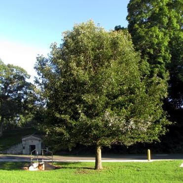 94-02-Quercus_lyrata-Tree_SX_zps1e24b030