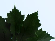 94-03-Quercus_bicolorXmuehlenbergii-Foliage_SX_zpsdfa6d804