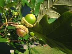 94-03-Quercus_bicolorXmuehlenbergii-nuts_SX_zps3312cf29