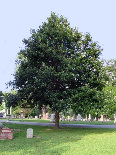 94-03-Quercus_bicolorXmuehlenbergii-Tree_SX_zps26b30f3f