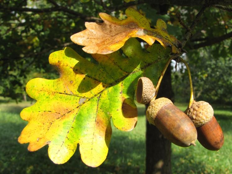 96-03-Quercus_robur-Acorns_SX_zps428d447f