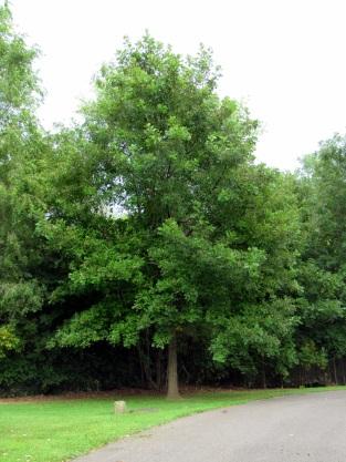 96-14 Oak Hybrid 2