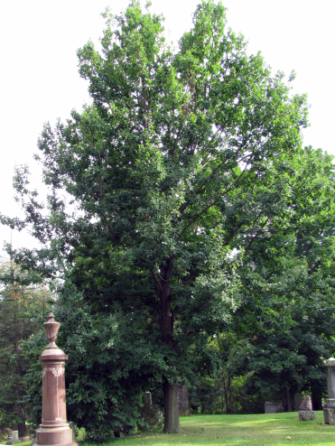 Penduc Oak