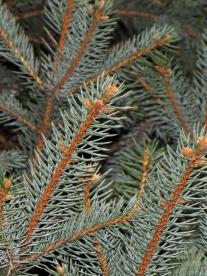 0-024-Picea_pungens-2_SX