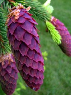 0-025-Picea_abies-2_SX