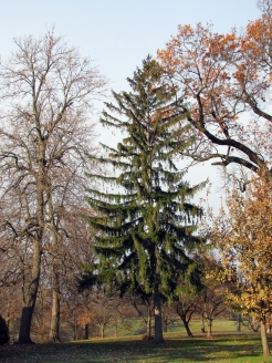 0-025-Picea_abies-3_SC