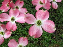 0-029-Cornus_fl-Dogwoods-EastSide2-OR_SX