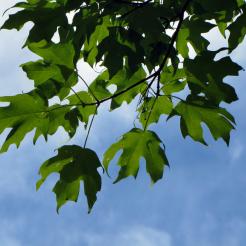 0-037 sugar maple leaves