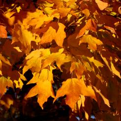0-037 sugar maple orange leaves 3