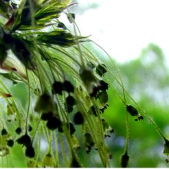 0-037 Sugar Maple seeds