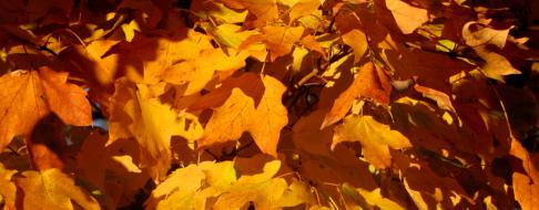 cropped-0-037-sugar-maple-orange-leaves-3.png