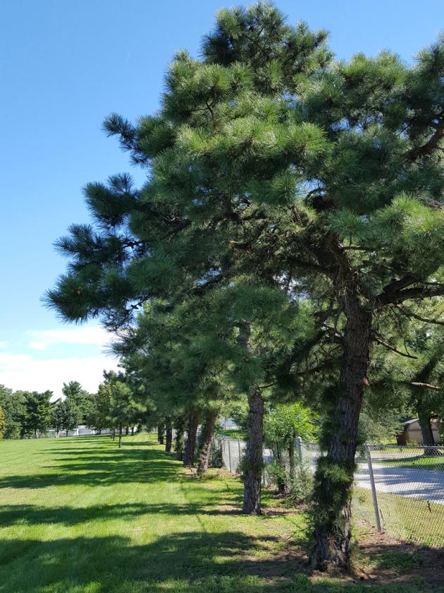 #0-055--Pinus_rigida-1_GP