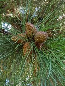 #0-055--Pinus_rigida-2_GP