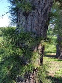 #0-055--Pinus_rigida-3_GP