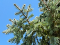 #0-058-Picea_pungens-2_GP