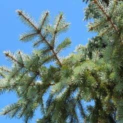 #0-058-Picea_pungens-2_GP