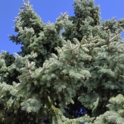 #0-058-Picea_pungens-3_GP