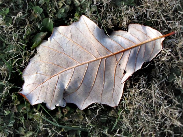 95-22-Quercus_bicolor-1_GP