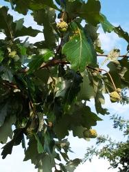 95-22-Quercus_bicolor-2_GP