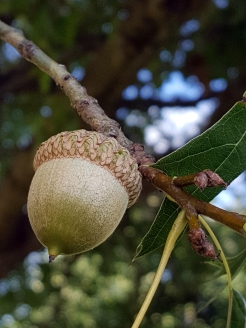 #94-06-Quercus_buckleyi-3_GP