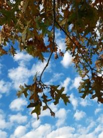 #94-06-Quercus_buckleyi-5_GP