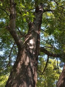 #94-06-Quercus_buckleyi_39-820254,89-662218-2_GP
